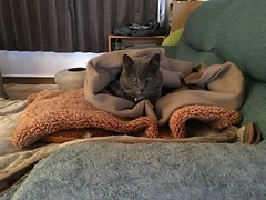 Argent, Wrapped Up in the Morning (sjrankin) Tags: 14october2018 edited animal cat argent blanket towel couch livingroom kitahiroshima hokkaido japan