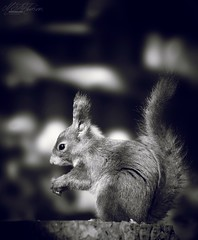 Little Red bw (Mandyjj543) Tags: red redsquirrel squirrel blackandwhite photography wildlife forest canon