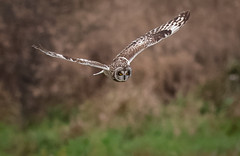 Short-eared Owl (Steve D'Cruze) Tags: short eared owl asio flammeus nikon d500 sigma 150600mm