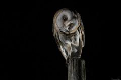Chouette effraie (swisscore) Tags: owl chouette hiboux barn effraie feather plume night nuit noir dame blanche gratte