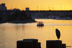 A Post About A Bird (Clayton Perry Photoworks) Tags: vancouver bc canada fall autumn downtown city explorebc explorecanada heron bird silhouettes falsecreek