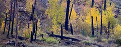 _DSC6164 Survival of the fittest (christinachui79) Tags: forestfire landscapephotography naturephotography nikondigital nikond750 dof colourful flickrnature autumncolour autumnseason fallseason fallcolour forest woods wood trees tree logs autumn fall yellow nature landscape nikon d750
