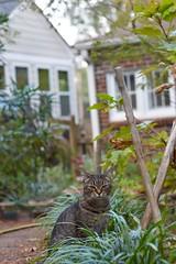 Camille waiting for Madison (cat intruder) to leave (rootcrop54) Tags: camille female mackerel tabby liriope monkeygrass madison interloper neko macska kedi 猫 kočka kissa γάτα köttur kucing gatto 고양이 kaķis katė katt katze katzen kot кошка mačka gatos maček kitteh chat ネコ