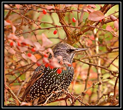 """Starling Settled..."" (NikonShutterBug1) Tags: nikond7100 tamron18400mm birds ornithology wildlife nature spe smartphotoeditor birdfeedingstation bokeh wings starling"