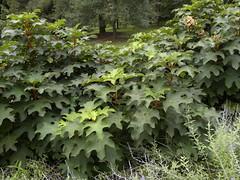 Hydrangea (MadKnits) Tags: green plants growing fall morrisarboretum
