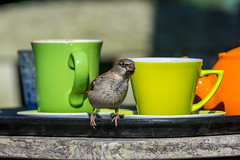 Scilly Sparrow and tea cups