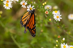 7K8A7893 (rpealit) Tags: scenery wildlife nature weldon brook management area monarch butterfly