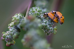 A nos actes manqués....! - To our actions missed (minelflojor) Tags: coccinelle fleur accouplement branche macro bokeh flou pattes nature ladybug flower mating branch blur paws tamronsp90mmf28dimacro11vcusd insect plant food