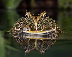 South American Horned Frog, CaptiveLight, Ringwood, Hampshire, UK (rmk2112rmk) Tags: southamericanhornedfrog captivelight hornedfrog frog ceratophrys amphibian water reflection toad pacman macro dof bokeh