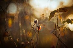 Bed of Roses (ursulamller900) Tags: diaplan28100 sunset sonnenuntergang mygarden bokeh vintagelens rose rot