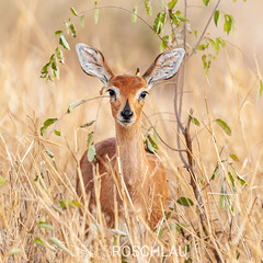 just a beautiful steenbok... (Denis Roschlau) Tags: southafrica steenbok steinböckchen ears grass savannah knp kruger krugernationalpark naturallight nature wildlife safari mammal antelope wildlifephotography cute beautiful