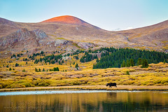 Moose in the Mountains (b_mccarley) Tags: moose deer mountains mountainlake rockymountains colorado colorfulcolorado sunset sunrise sunlight landscape mountain nature beauty mtevans bull bullmoose alpine lake reflection mtbierstadt georgetown guanellapass hiking wildwest