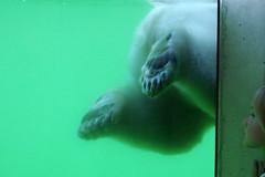 Jääkaru (Jaan Keinaste) Tags: pentax k3 pentaxk3 eesti estonia tallinn tallinnaloomaaed loomaaed zoo jääkaru polarbear