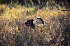 Fall sunshine (jnwalk23) Tags: nikon country rural outdoors latesummer dog