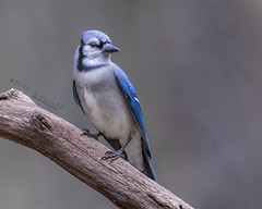 Blue Jay (Bill McDonald 2016) Tags: bluejay blue jay common garden avian perched perching nature wildlife photography billmcdonald wwwtekfxca beautiful colorful colourful