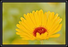 "32/100 for ""100 Flowers 2018"" (NikonShutterBug1) Tags: nikond7100 tokina100mm nature wildlife bokeh spe smartphotoeditor closeup macro flower flora 100flowers2018"