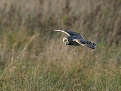 Short-eared Owl (kc02photos) Tags: shortearedowl asioflammeus burrellfen cambridgeshire england uk birdphotography