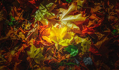 Autumn Series - 18 (Dhina A) Tags: sony a7rii ilce7rm2 a7r2 a7r fe 55mm f18 za 18 carl zeiss sonnar t sel55f18z autumn series fall colors colourful light sun lit leaves