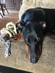 Asleep With His Toy - Dobermann Pinscher Saxon (firehouse.ie) Tags: canine k9 animal animals dogs dog dobeys dobey dobies dobie dobiea dobes dobe saxon pinscher pinschers dobermans doberman dobermanns dobermann