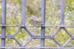 Phylloscopus collybita, Luì piccolo, Common chiffchaff (ElisaArduini) Tags: animal animals animale animali nature natura outdoor bird birds uccello uccelli rome roma city città italia italy wildlife outside photography fotografia flickr photo photos foto nikon d3200 nikond3200
