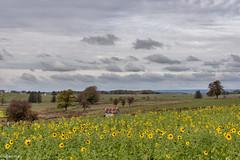 28102018-DSC_0044 (vidjanma) Tags: ardenne champ tournesols automne