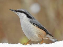 Nuthatch (Sitta europaea) (eerokiuru) Tags: nuthatch sittaeuropaea kleiber puukoristaja bird p900 nikoncoolpixp900
