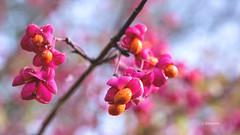 Pfaffenhütchen (petra.foto busy busy busy) Tags: natur herbst pfaffenhütchen pflanzen fotopetra canon 5dmarkiii