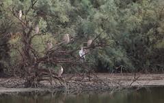 Bihoreau gris juvénile, Héron cendré - IMBF8528 (6franc6) Tags: réserve scamandre septembre 2018 occitanie languedoc gard 30 petitecamargue 6franc6