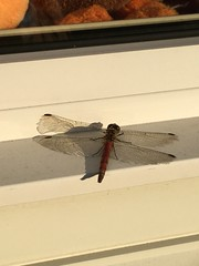 Mid-Fall Dragronfly (sjrankin) Tags: 2november2018 edited closeup window windowsill insect dragonfly akatonbo light shadow wings animal kitahiroshima hokkaido japan