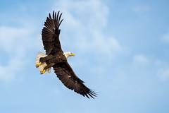 Flying High (Michael R Hayes) Tags: baldeagle eagle raptors birdsofprey florida homosassa fl bird birdsinflight sonya7iii a7iii a73