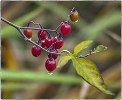 Red Berries (NoJuan) Tags: 75300 olympus75300mm em1 olympusem1 microfourthirds micro43 mirrorless juanitabaypark kirklandwa washingtonstate pacificnorthwest wetlands autumn fall fallcolor