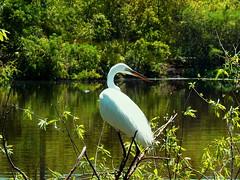 I'm Watching (npbiffar) Tags: outdoor water swamp marsh river bird egret snowy tree plants npbiffar fz28 lumix coth5 ngc