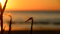 Flowing soulmates ... (Raquel Borrrero) Tags: puesta de sol agua cielo atardecer libélula alas rama mar puestadesol coucherdesoleil sunset sea dragonfly damselfly beach playa stick sky ciel eau outside nature water naturephotography soulmate sympetrum colour silhouette silueta contraluz backlight bokeh