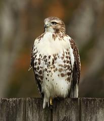 Red-tailed hawk (Up Nort) Tags: redtailedhawk buteojamaicensis fall menomoneefalls wisconsin upnort erikstabl