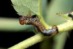 Arge cf ochropus - 24 IX 2018 (el.gritche) Tags: hymenoptera symphyta argidae argeochropus larva rosacanina rosaceae