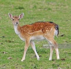 Fallow Deer fawn (Gary Chalker, Thanks for over 3,000,000. views) Tags: deer fallowdeer fawn mammal pentax pentaxk3ii k3ii pentaxfa600mmf4edif fa600mmf4edif fa600mm 600mm
