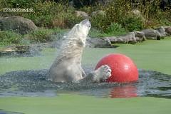 Bill - Eisbär - Zoom Gelsenkirchen (ElaNuernberg) Tags: eisbärbill zoomgelsenkirchen zoo zootier zooanimal eisbär polarbear ijsbeer ursusmaritimus isbjorn ourspolaire orsopolare jääkaru niedźwiedźpolarny