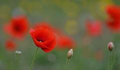 Soft Reds (Edinburgh Photography) Tags: nature outdoors poppies red green flora edinburgh botanical gardens bokeh nikon d7000