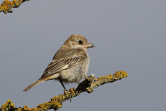 Woodchat Shrike (Chris B@rlow) Tags: laniussenator lanius shrike woodchatshrike butcherbird bird birds scotland nature wildlife barnsness lothian canon7dmarkii sigma150600sport