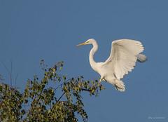 Haltungsnote 1 (wernerlohmanns) Tags: wildlife wasservögel natur nikond7200 outdoor sigma150600c schärfentiefe reiher silberreiher deutschland nabu nsg