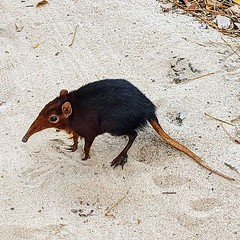 Elephant Shrew! One of Africa's Small 5. They're all over the place here! (ActionManBen) Tags: instagram actionman