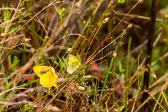 7K8A7579 (rpealit) Tags: scenery wildlife nature weldon brook management area orange sulphur butterfly