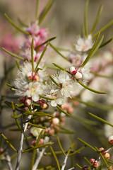 (louisa_catlover) Tags: cranbourne royalbotanicgardenscranbourne melbourne victoria australia garden nature outdoor spring october sunny afternoon plant native australian bokeh dof flowers myrtaceae