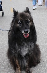 Griz (Webfoot5) Tags: dog dogs dogsonwalks dogzonwalkz germanshepherd dutchshepherd