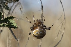 Araneus quadratus (Phil Arachno) Tags: germany chelicerata arachnida hessen niederems spider spinne araneus