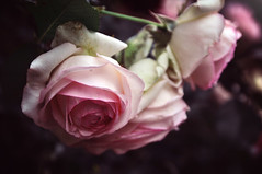 Love (Natale Aves) Tags: flowers flower roses rose pink soft colors summer blooming bloom blossom nature light nikon city