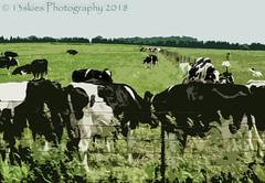 Cartoon Cows  (HSS) (13skies (Cast off, brace on. Healed but still sore) Tags: layermask elements slider cows effect postprocessing field farms horizon art digitalart pse15 blackandwhite software photoshopelements15 hss happyslidersunday