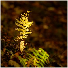 Lonley Forest Fern (urfnick) Tags: oswestry wales unitedkingdom gb texture light colour autumn nature yellow orange park forest woods leaves bokeh sunlight canon sundaylights
