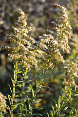 Goldenrod (Notley Hawkins) Tags: httpwwwnotleyhawkinscom notleyhawkinsphotography notley notleyhawkins 10thavenue morning frost frostymorning plants macro dof depthoffield rural detail callawaycounty callawaycountymissouri outdoors goldenrod weeds weed plant