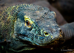 There be dragons (JKmedia) Tags: monitor lizard dragon komodo menacing scale dinosaur reptile chesterzoo boultonphotography 2018